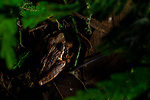 Frog (Craugastor polyptychus), Mamoni Valley, Panama