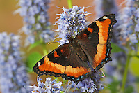 Milbert's tortoiseshell butterfly (Nymphalis milberti) on Anise Hyssop (Agastache foeniculum) flowers, summer, North America.