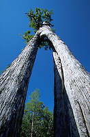 Ancient bald cypress tree with hollow natural arch in trunk, Okefenokee National Wildlife Refuge, Georgia