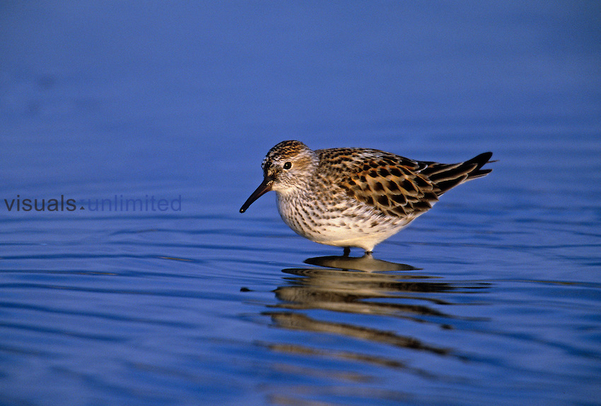 White-rumped Sandpiper in breeding plumage ,Calidris fuscicollis, Canada.