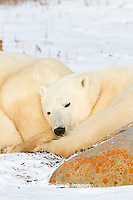 01874-13105 Polar Bears (Ursus maritimus) cub sleeping next to mother Churchill Wildlife Management Area, Churchill, MB
