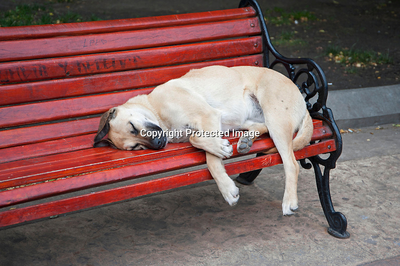 Sleeping Dog on Park Bench in Punta Arenas in Patagonia Chile