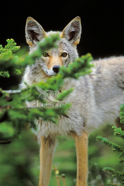 Coyote watching from behind evergreen tree.  Northern Rockies.