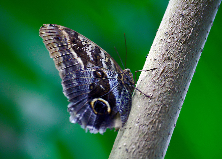 "The Cream-striped owl butterfly is neotropical and often found sitting on a tree trunk much like it is in this photo. Closed-winged the ""owl"" eye is predominant on the blue shaded hindwing and the cream and light blue striped show well against a multi-shaded green background."