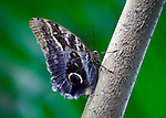 """The Cream-striped owl butterfly is neotropical and often found sitting on a tree trunk much like it is in this photo. Closed-winged the """"owl"""" eye is predominant on the blue shaded hindwing and the cream and light blue striped show well against a multi-shaded green background."""