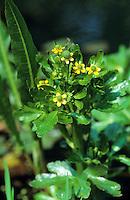 Gift-Hahnenfuß, Gift-Hahnenfuss, Gifthahnenfuß, Giftiger Hahnenfuß, Ranunculus sceleratus,  Blister buttercup, cursed buttercup, celery-leaved buttercup