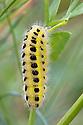 Caterpillar of Six-spot Burnet {Zygaena filipendulae}. Nordtirol, Austrian Alps, Austria, July.