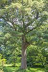 Black Oak tree at the Arnold Arboretum in the Jamaica Plain neighborhood, Boston, Massachusetts, USA