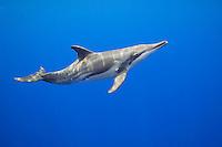 Rough-toothed dolphin (Steno bredanensis), Kona Coast, Big Island, Hawai'i