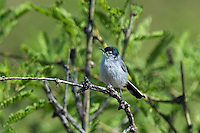 536050004 a wild black-tailed gnatcatcher polioptila melanura perches in a mesquite bush in montosa canyon near green vally arizona united states