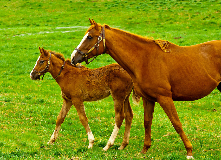 Thoroughbred horses and foals, Woodford Thoroughbreds, Versailles (near Lexington), Kentucky USA,