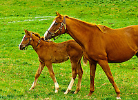 Thoroughbred horses and foals, Woodford Thoroughbreds, Versailles (near Lexington), Kentucky USA,