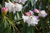 Rhododendron, Sichuan-Rhododendron, Rhododendron sutchuenense, Sichuan Rhododendron