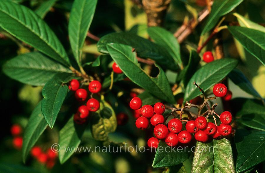 Weidenblättrige Zwergmispel, Zwerg-Mispel, Früchte, Cotoneaster salicifolius, Willowleaf Cotoneaster