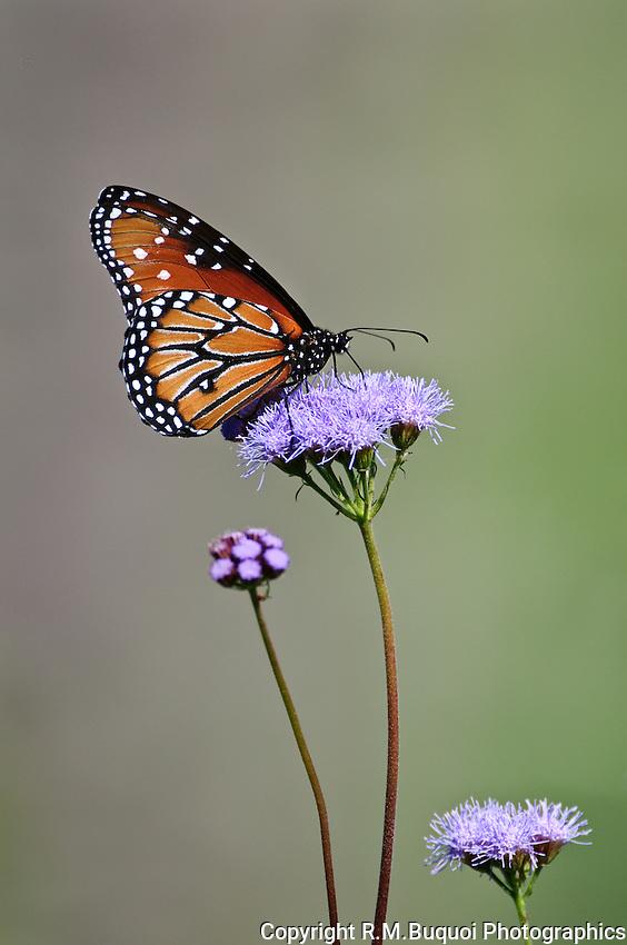 Queens Butterfly