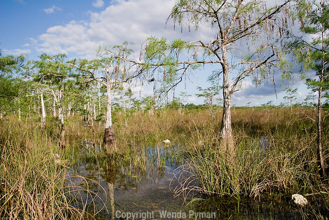 Pond cypress stand in shallow or still water.