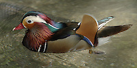 The Mandarin Duck is a medium-sized perching duck, closely related to the North American Wood Duck.<br /> The adult male is a striking and unmistakable bird. It has a red bill, large white crescent above the eye and reddish face and &quot;whiskers&quot;.