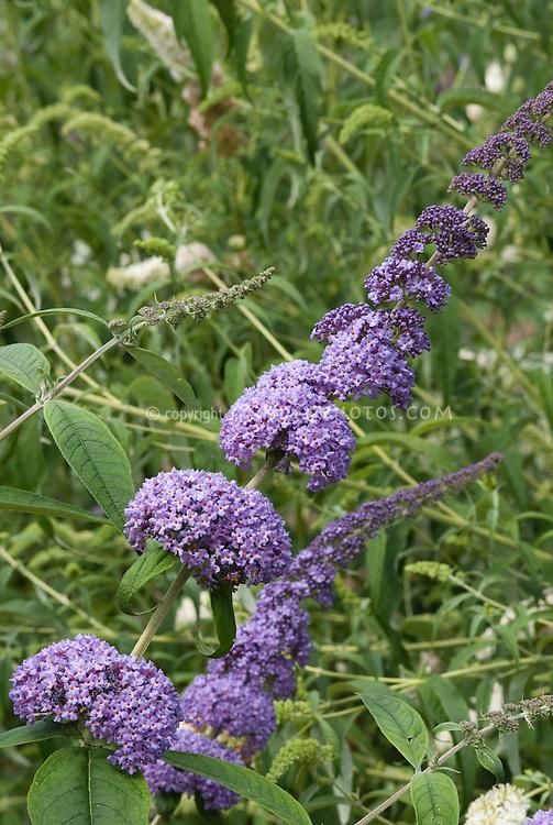 Butterfly Bush Buddleja davidii 'Orchid Beauty' TN27