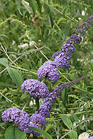 Butterfly Bush Buddleja davidii 'Orchid Beauty' TN27
