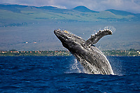 humpback whale, Megaptera novaeangliae, breaching, Kohala Mountain in background, note rare gray body coloration for adult whale, Big Island, Hawaii, USA, Pacific Ocean