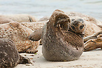 Harbor seals lay on the children's pool beach in La Jolla, California.