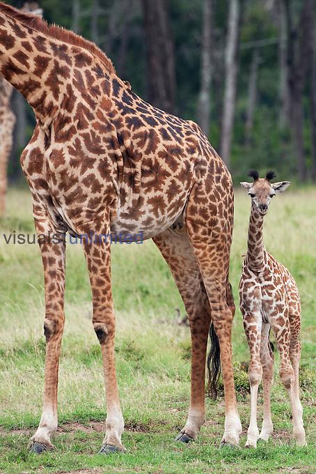 Masai Giraffe calf aged about 1 month standing next to its mother (Giraffa camelopardalis tippelskirchi), Masai Mara, Kenya.