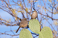 Curve-Billed Thrashers, Arizona, USA