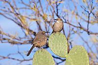 Curve-Billed Thrashers, Arizona, USA