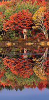 950000002 a vertical panoramic view of trees in brilliant fall color and their mirror-like reflection in thorton lake in the upper penninsula of michigan united states