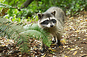 North America, USA, California, San Francisco, Golden Gate Park. Raccoon.