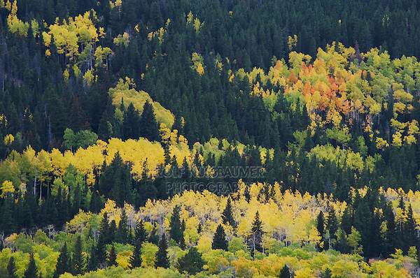 Aspen trees in fallcolors, Endovalley, Rocky Mountain National Park, Colorado, USA, September 2006