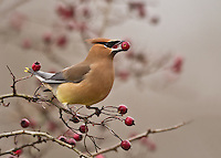 Waxwings and Starlings