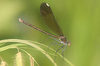River Jewelwing (Calopteryx aequabilis) Damselfly - Female, Ward Pound Ridge Reservation, Cross River, Westchester County, New York