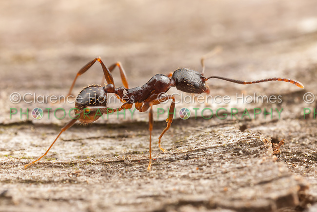 A Spine-waisted Ant (Aphaenogaster picea) worker explores the surface of a fallen dead tree.