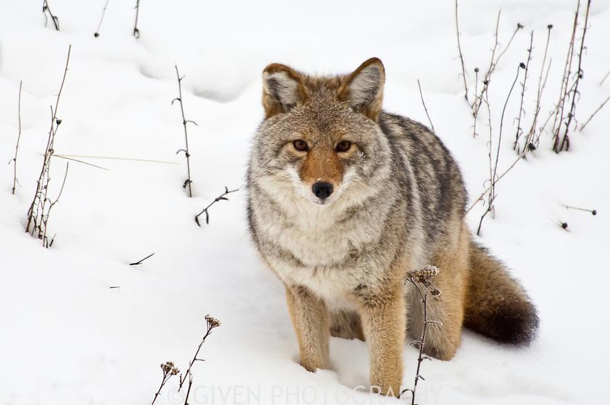 Coyote, Alberta, Canada