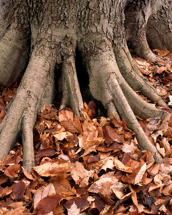 Beech tree trunk, roots, and leaves; Warren Dunes State Park, MI