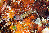 Three lined blenny, Ecsenius trilineatus, Florida Islands, Solomon Islands, Pacific Ocean