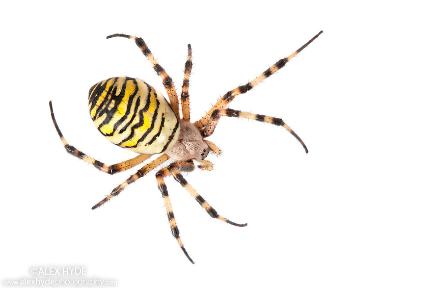 Wasp Spider female {Argiope bruennichi} photographed on a white background. Midi-Pyrenees,  Pyrenees, France. August.