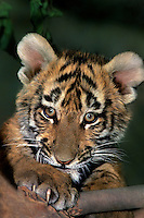 683999205 a bengal tiger cub panthera tigris a wildlife rescue animal claws and plays with a tree branch in his enclosure at a wildlife rescue facility - species is highly endangered in its home range on the indian subcontinent