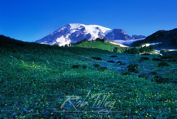 Glacier Lilies & Mt. Rainier, Mt. Rainier NP, WA, USA
