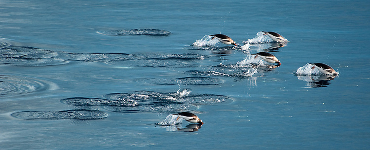 Gentoo Penguin (Pygoscelis papua), jumping whilst swimming, Gourdin Island, Antarctica