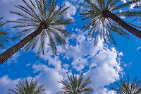 Palm Trees looking up, California Palmaceae