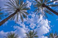 Palm Tree, California palm tree s, CA, Fan Palm, native, Arecaceae, Palmae, Palmaceae palm, leaves