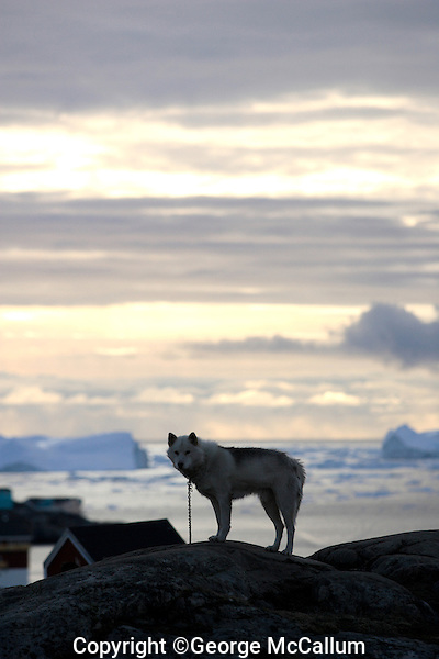 Greenland Husky on hilltop overlooking Disco bay, Greenland