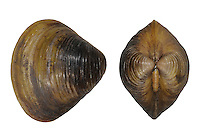 Asiatic Clam - Corbicula fluminea