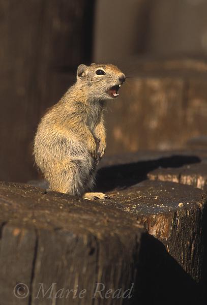 Belding's Ground Squirrel giving alarm call, (Spermophilus beldingi)<br /> Mono Lake County Park, California, USA<br /> Slide # M14-114