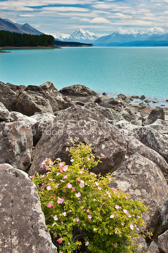 Mt Cook / Aoraki from rocky edge of Lake Pukaki with wild rose in foreground. View from SH8