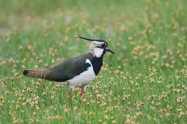 Northern Lapwing, Vanellus vanellus, adult, National Park Lake Neusiedl, Burgenland, Austria, April 2007