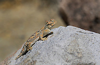 437800003 a wild southern desert horned lizard phrynosoma platyrhinos calidiarum suns on a large rock in northern inyo county california