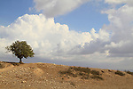 Israel, Northern Negev, Tamarisk tree (Tamarix Aphylla) on Tel Nagila